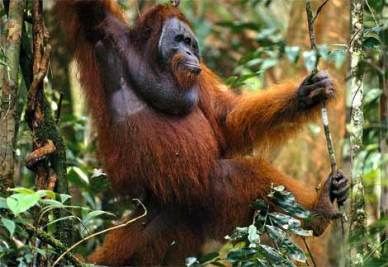 orangutan-traveling-forest.jpg
